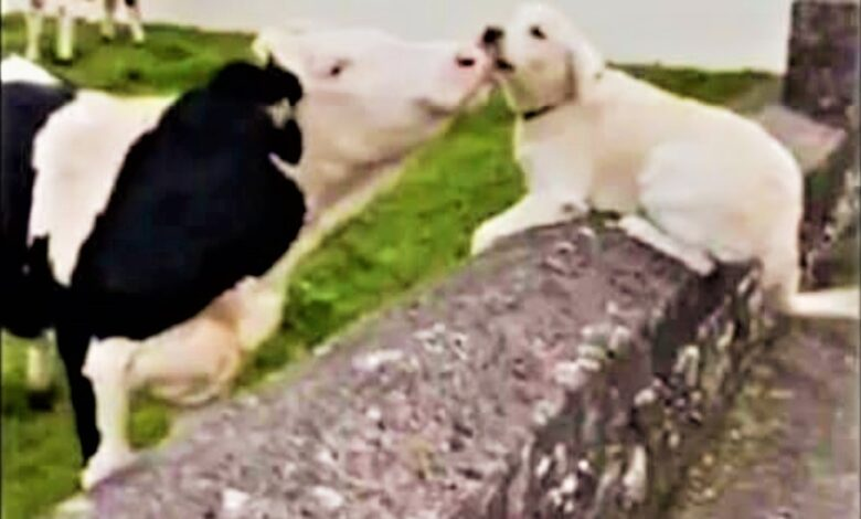 Two friends meet again! A cow and a small golden retriever dogs are rubbing their noses_sangbad bhaskar